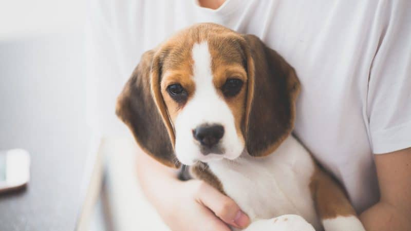 5 Best Dog Foods For Beagles - Those Who Eat All Day