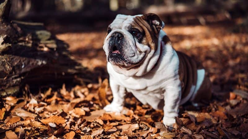 CyberPet - Best dog food for bulldogs