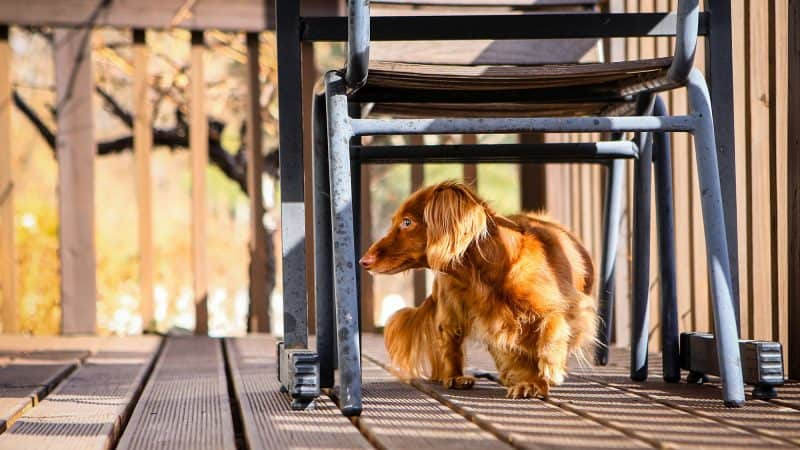 5 Best Dog Foods For Dachshunds To Help Them Stay Fit