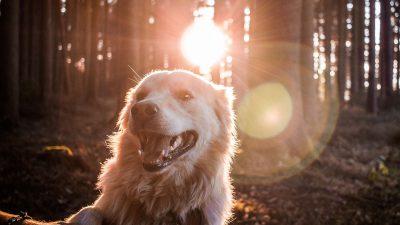 Best Dog Foods for Golden Retrievers for Optimum Health 2019