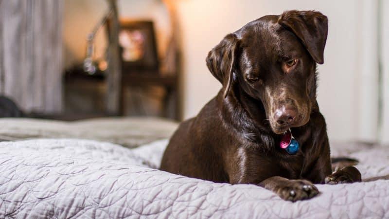5 Best Dog Foods For Labs (Labradors Retriever)