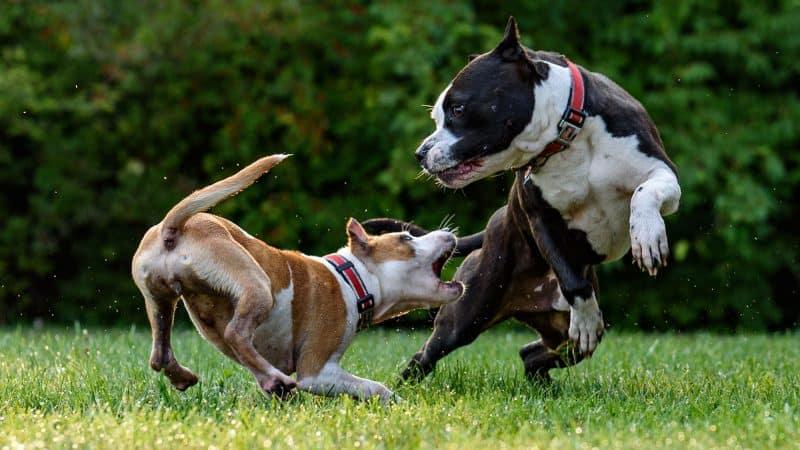 CyberPet - Best dog food for pitbulls