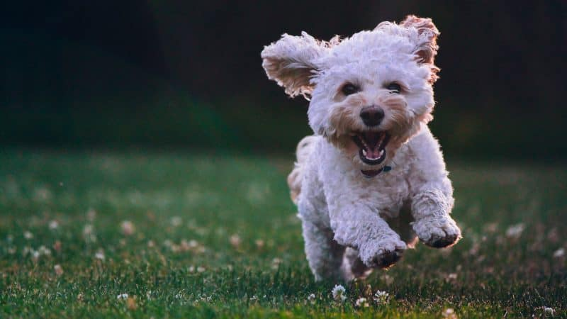 5 Best Dog Foods for Shih Tzus - A Wonderful Family Pet 2019
