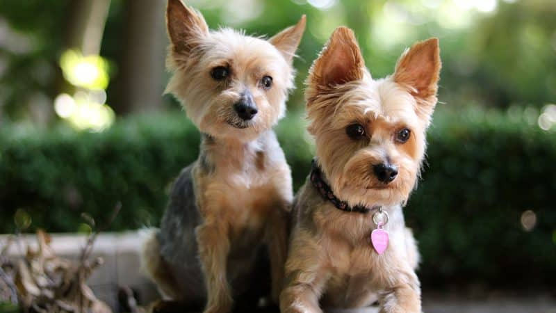 Best Dog Food For Yorkies For Optimal Wellness (Top 5)