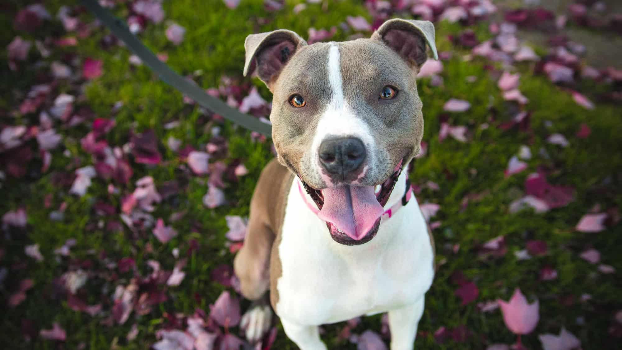 American Pit Bull Terrier - 2
