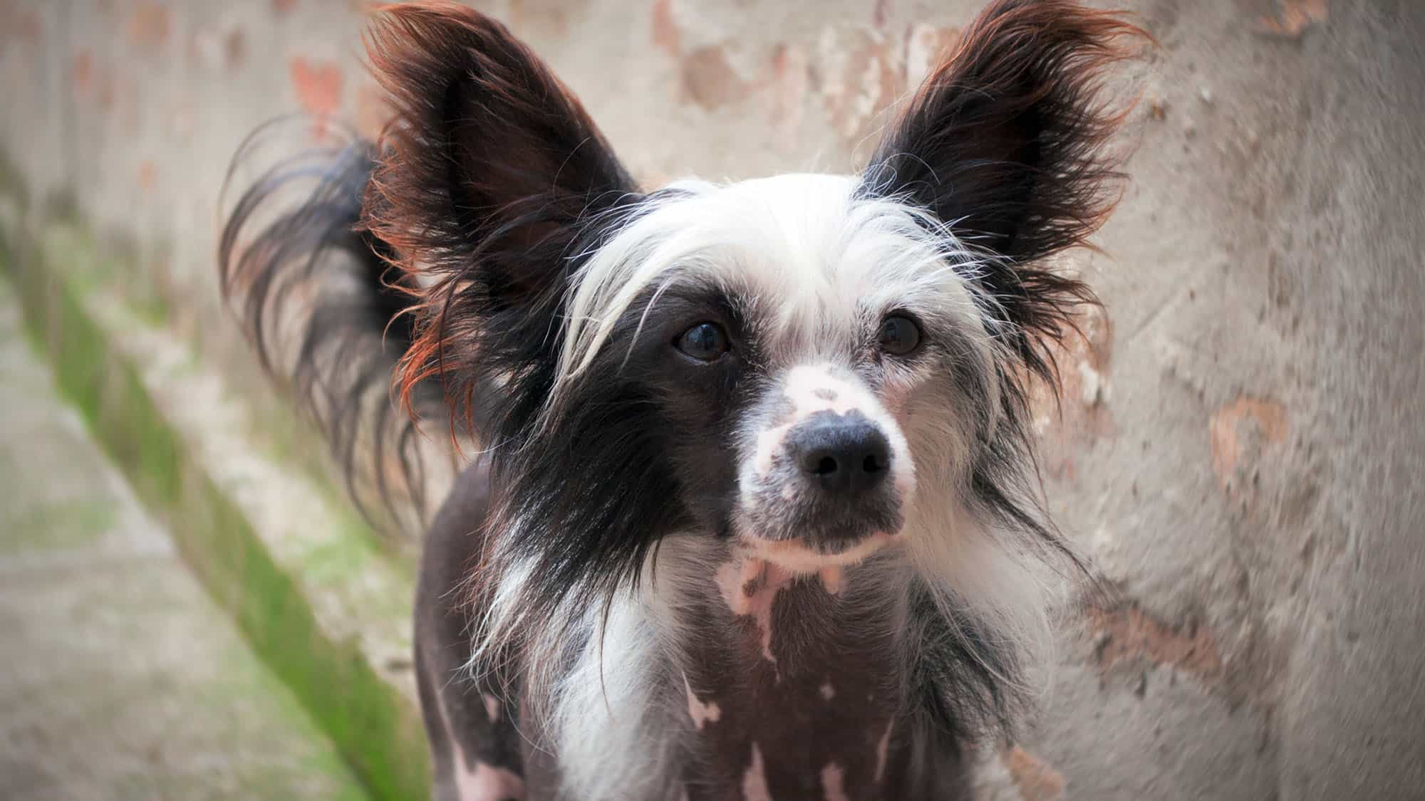 Chinese Crested - 1