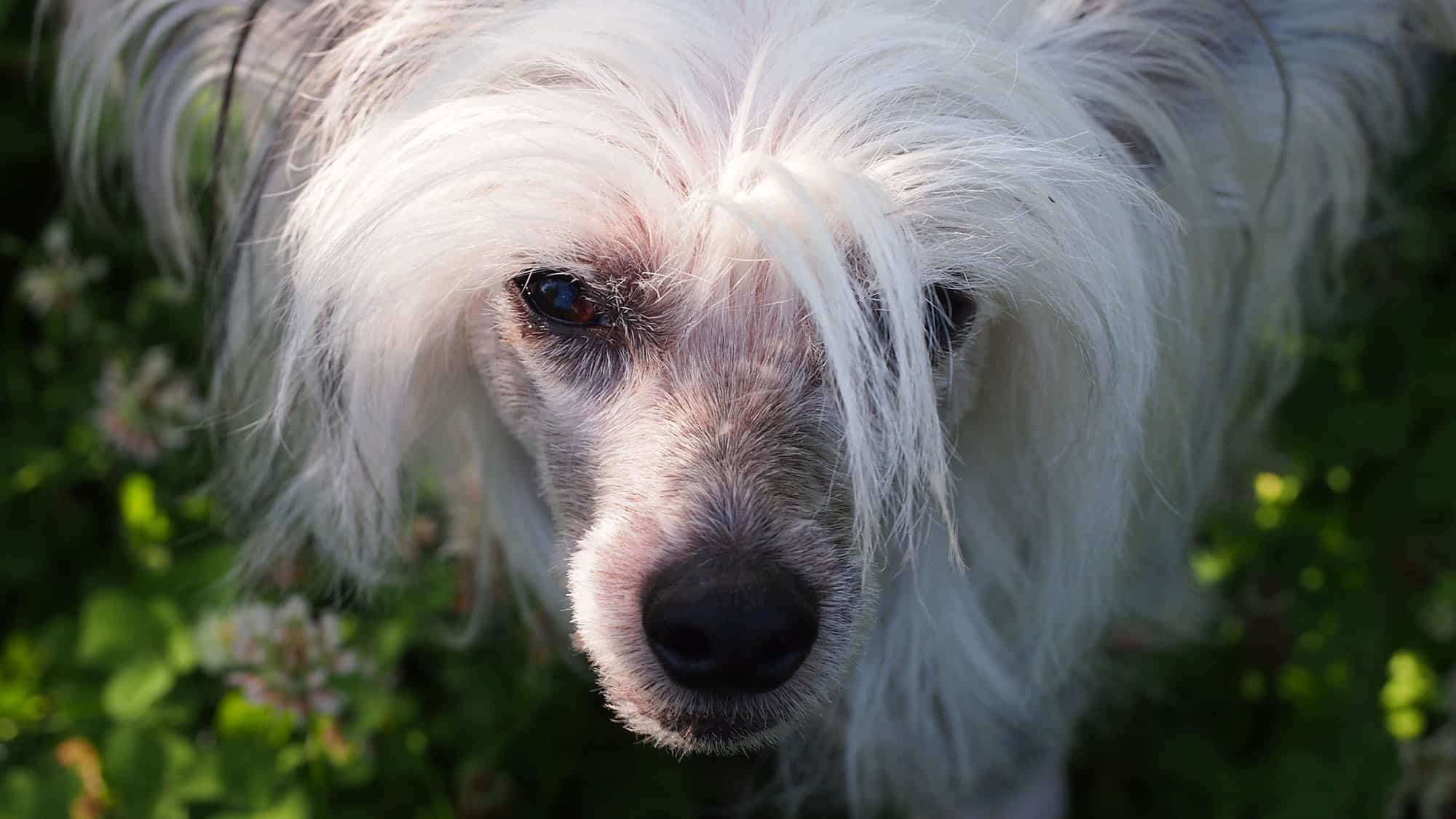 Chinese Crested - 2