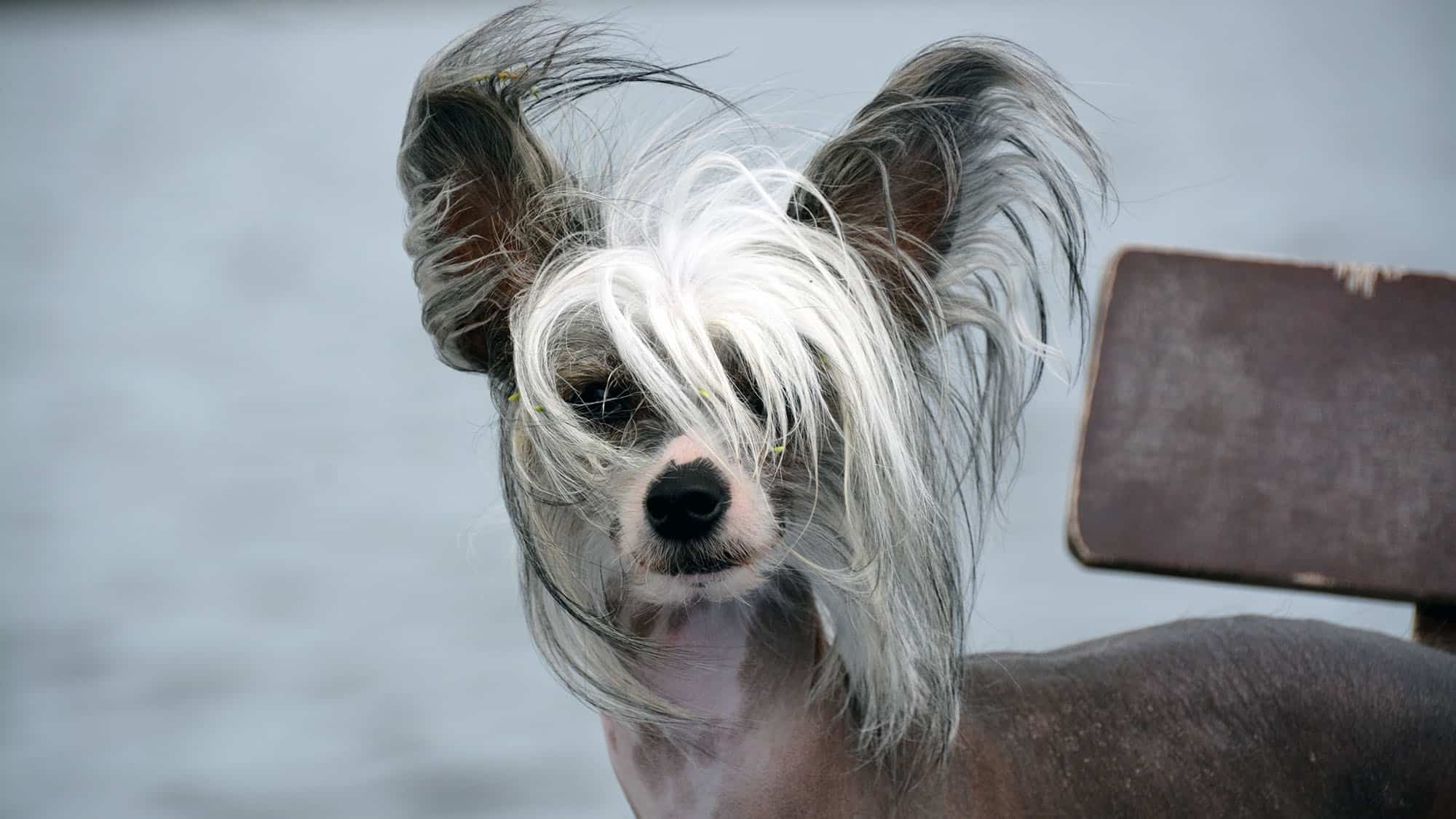 Chinese Crested - 3