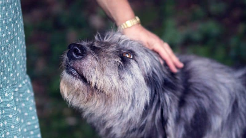 Affenpinscher: Color, Lifespan, Characteristics & Facts