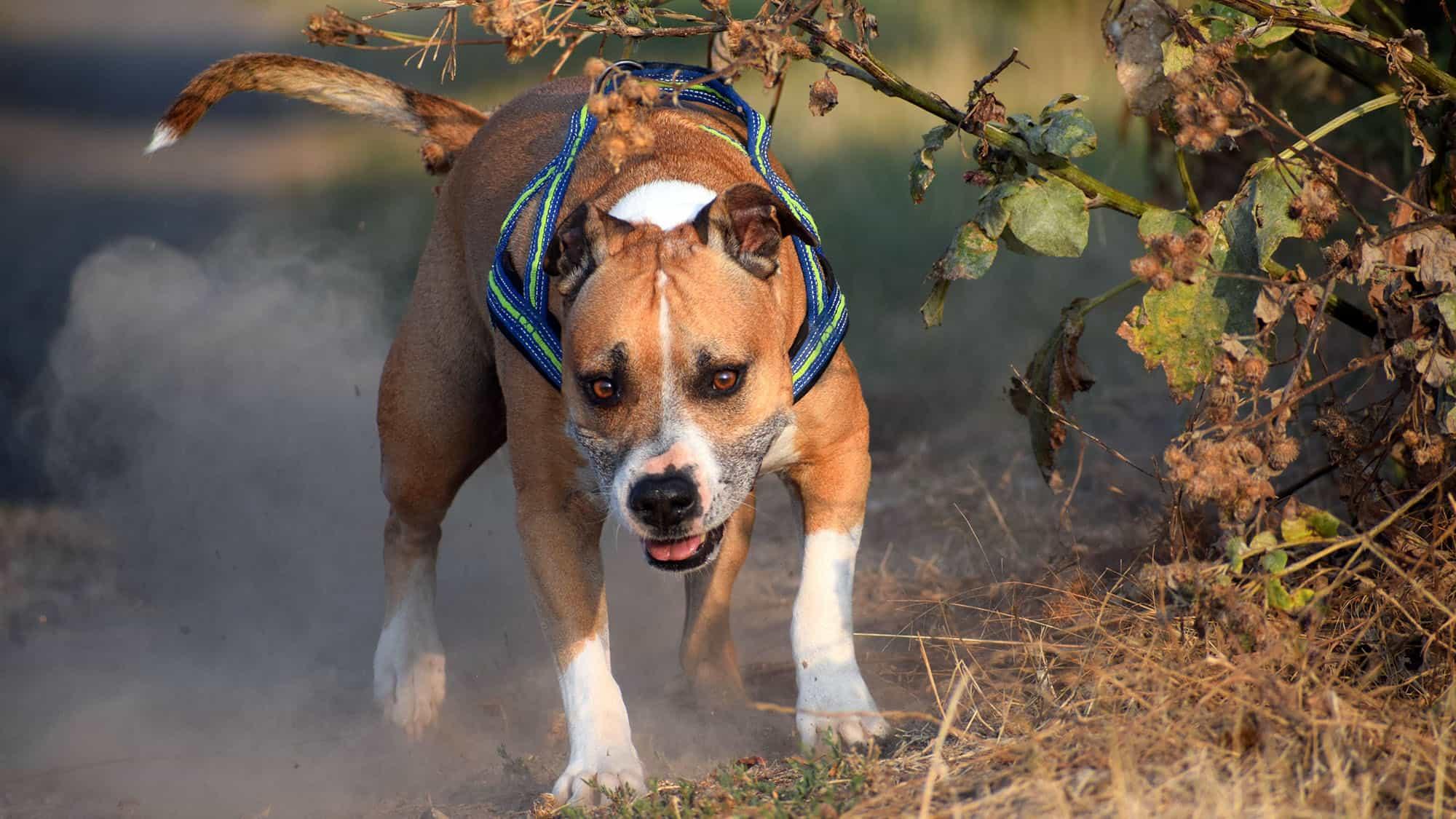 CyberPet - American Pit Bull Terrier