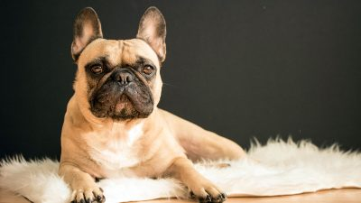 Top 3 Best Dog Foods for French Bulldog Wellbeing in 2019