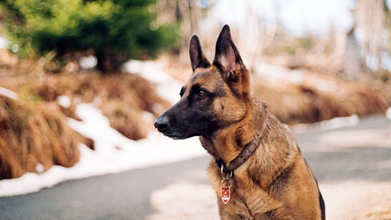 5 Best Dog Foods For German Shepherds To Stay Healthy