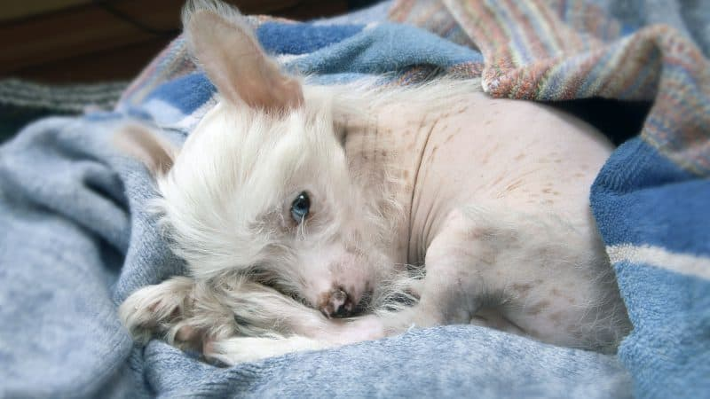 Chinese Crested: Color, Lifespan, Characteristics & Facts