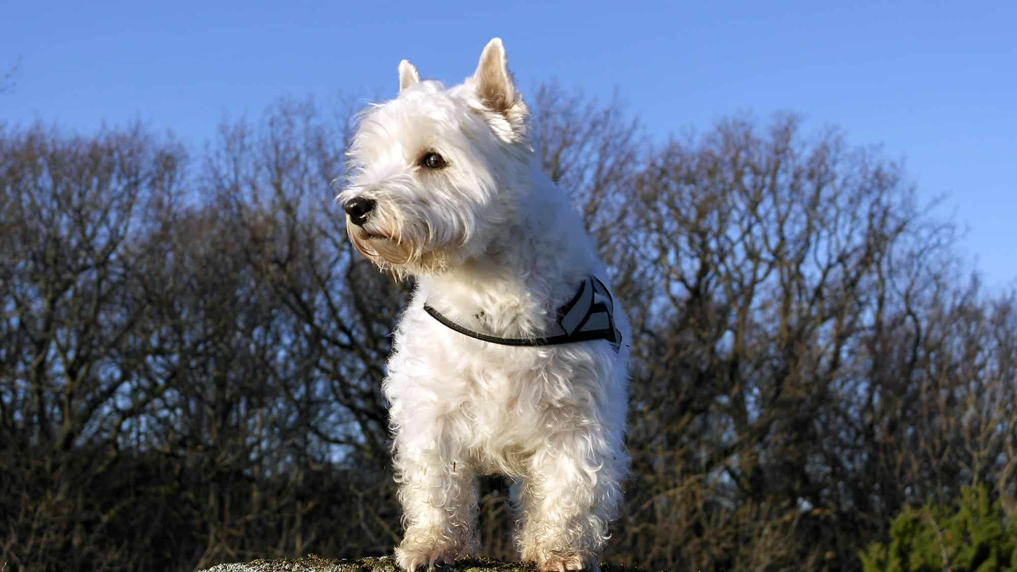 CyberPet - West highland white terrier