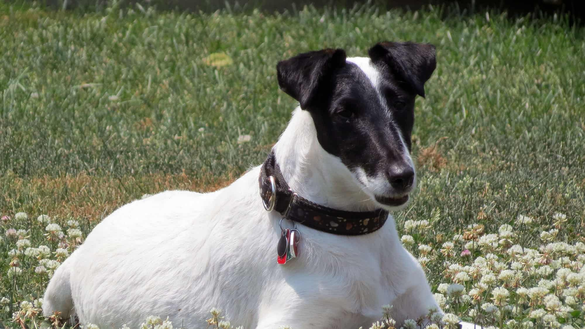Smooth Fox Terrier - 1
