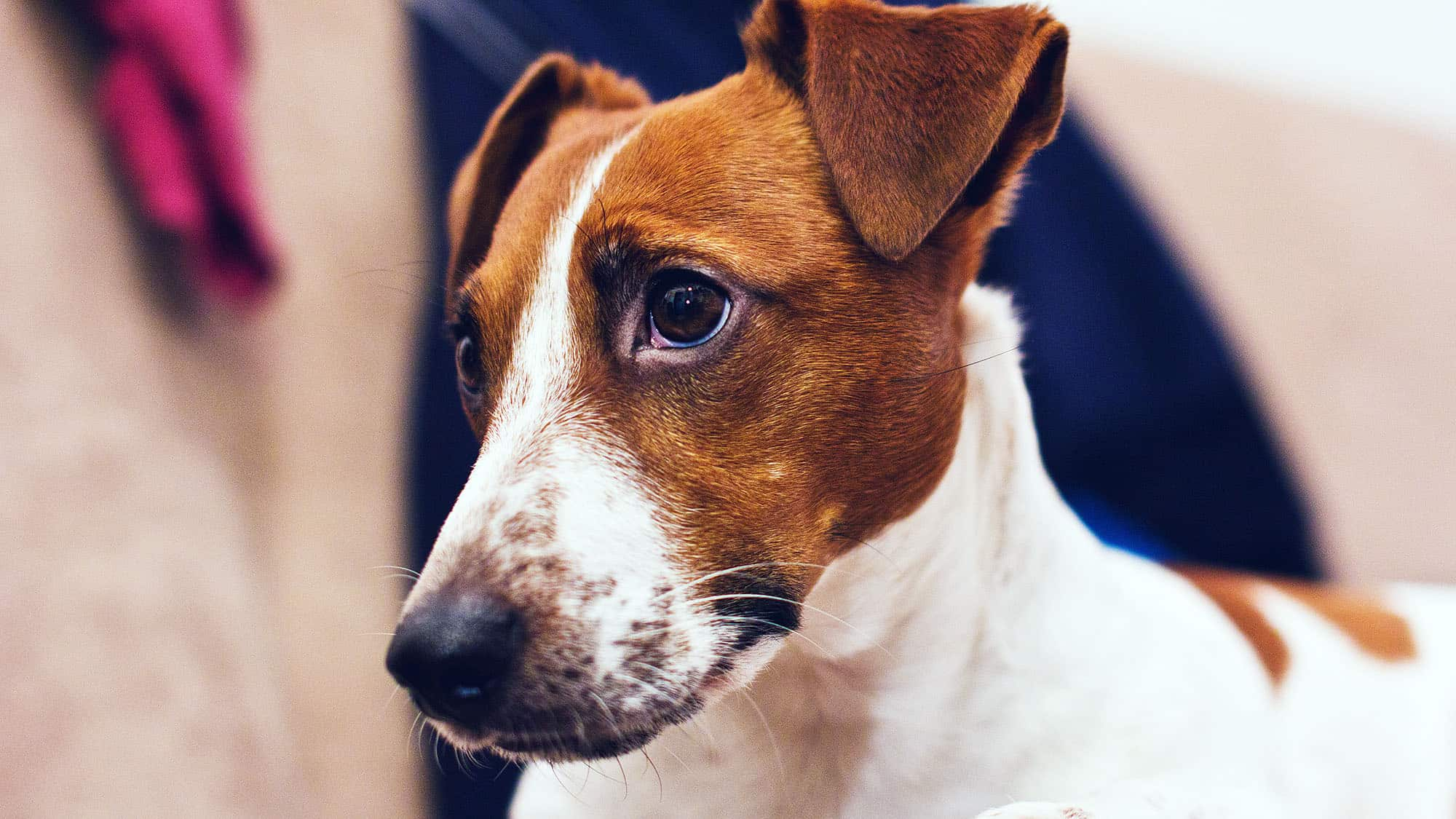 Smooth Fox Terrier - 2