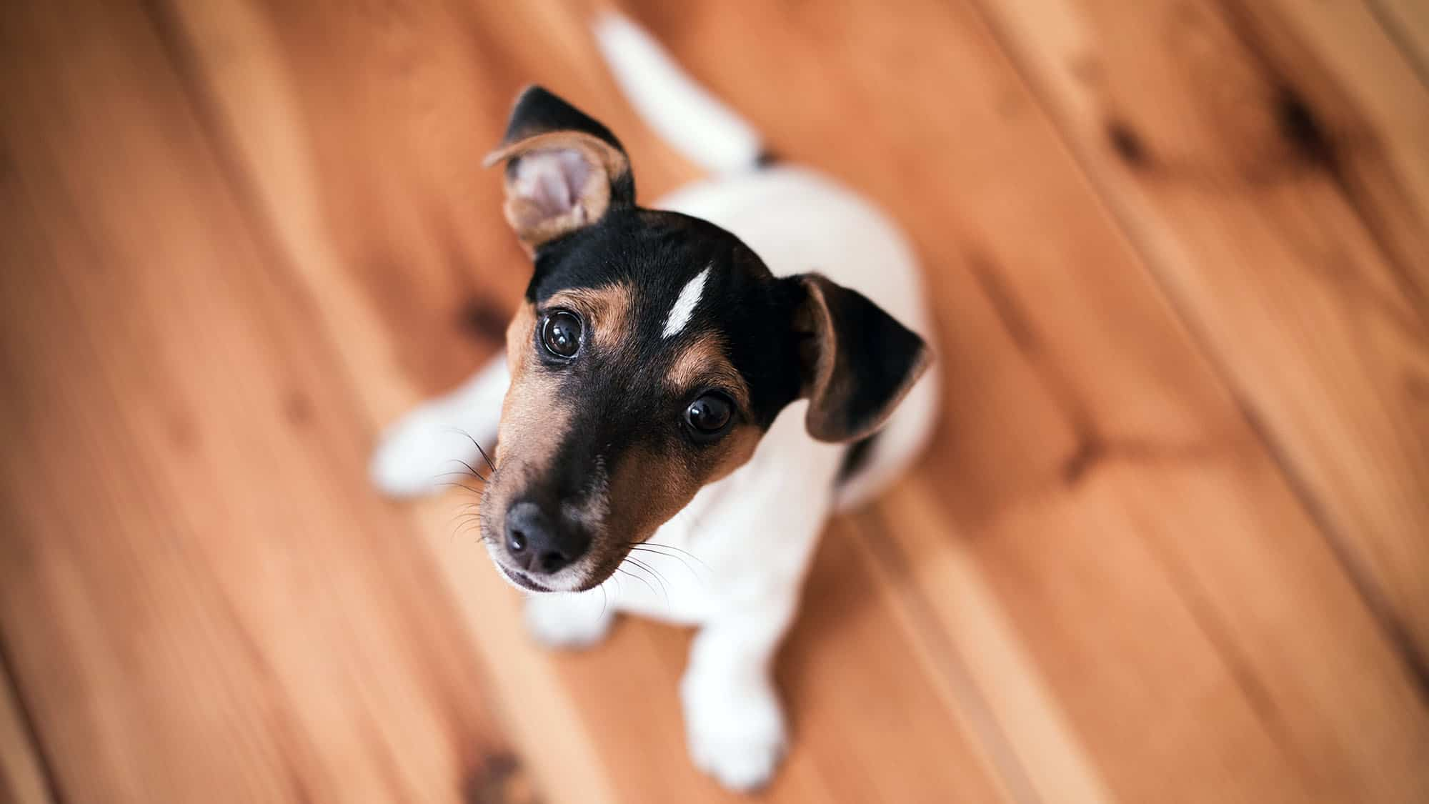 Smooth Fox Terrier - 3