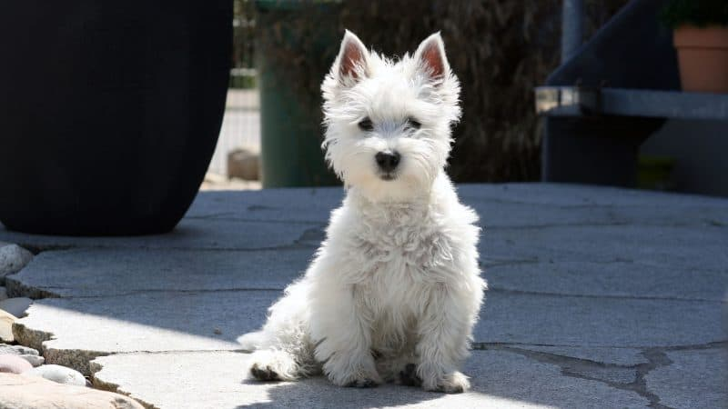 West highland white terrier - 1