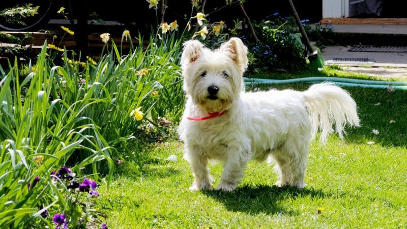 West highland white terrier - 3