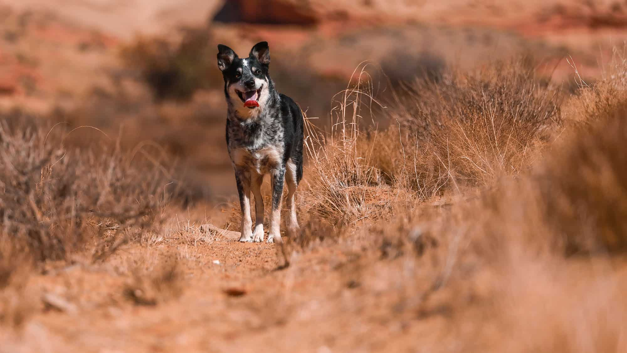 10. Australian Cattle Dog