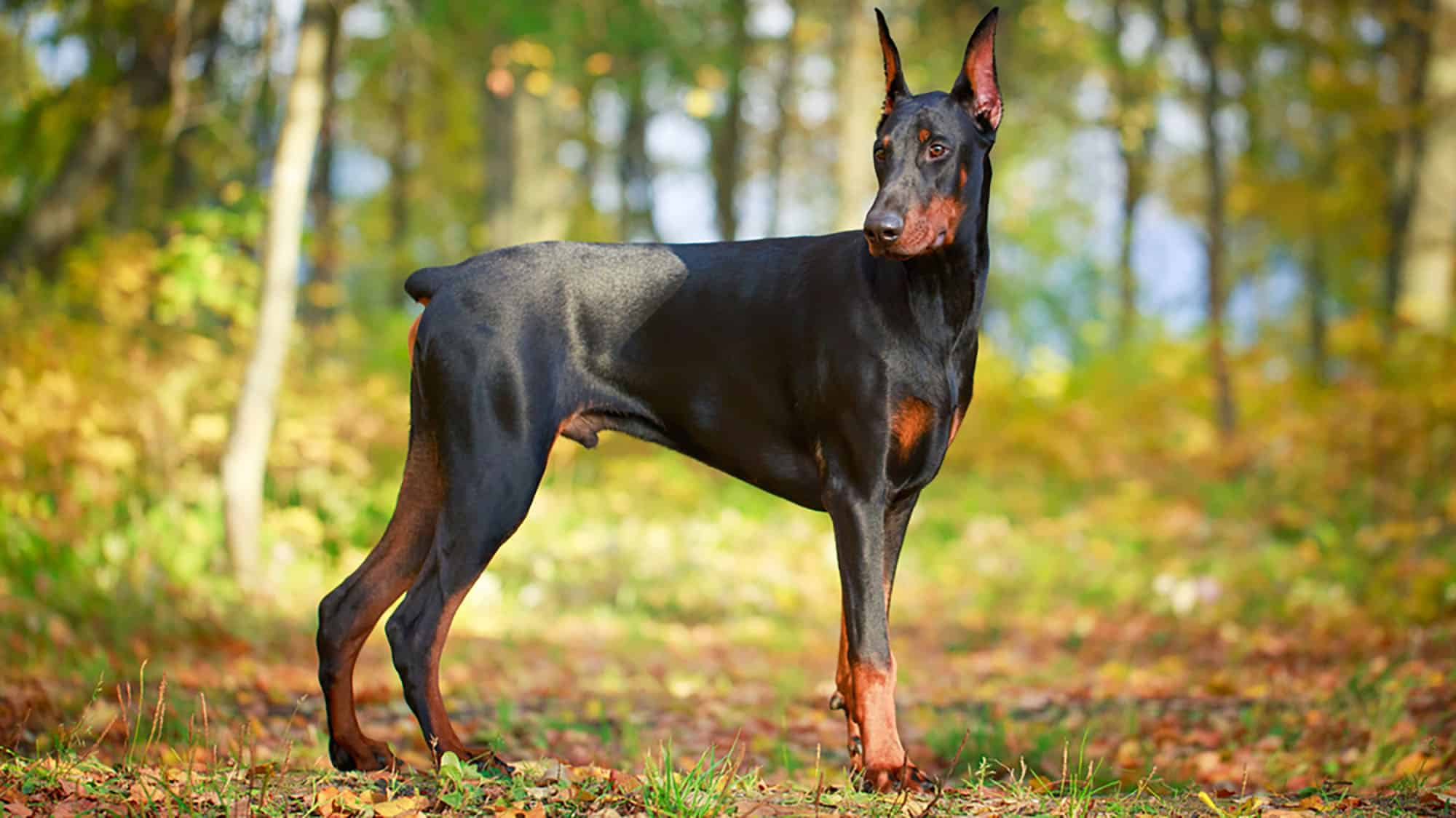 Top 100 Smartest Dog Breeds in the World Ranked - CyberPet