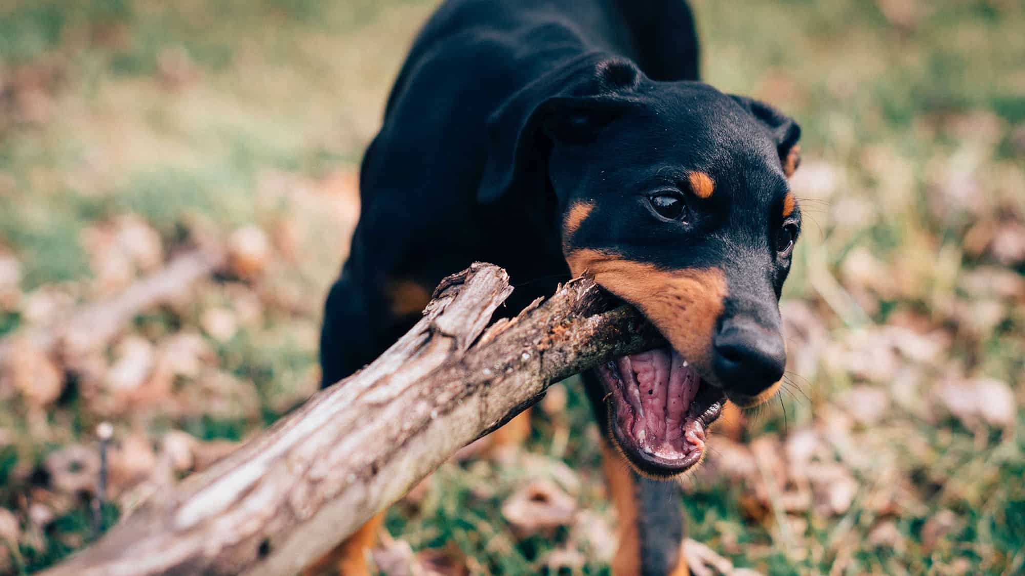 9. Rottweilers
