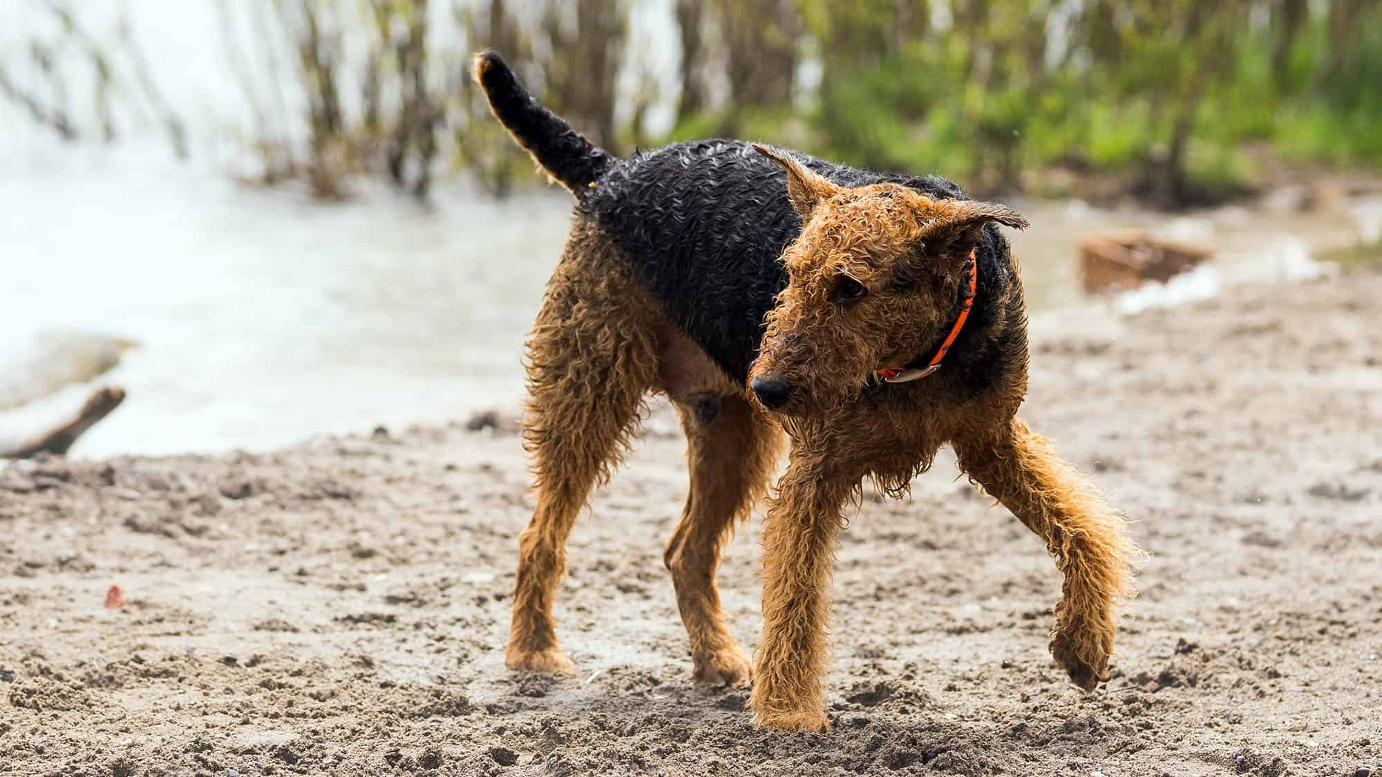 Airedale Terrier - 1