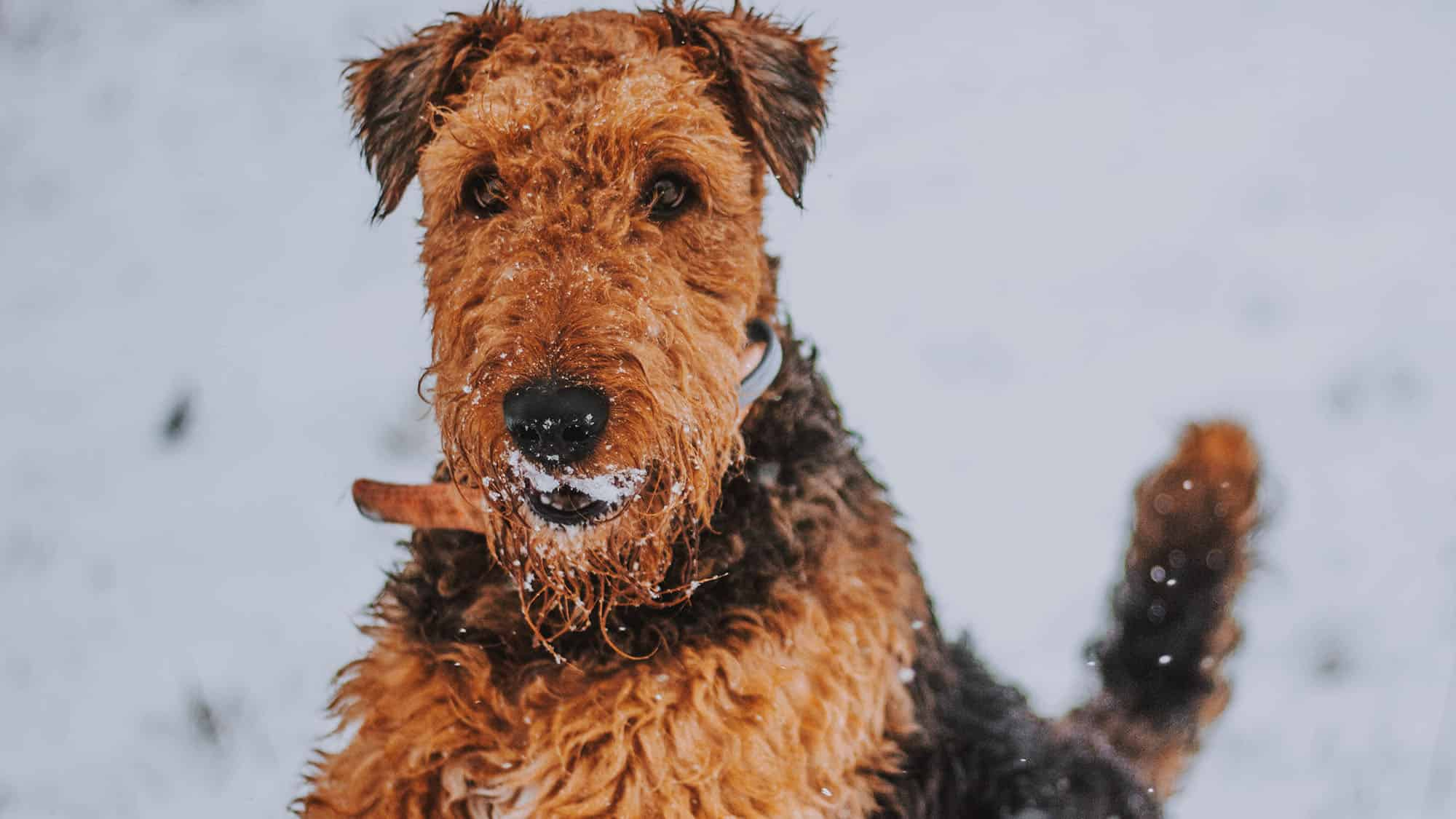 Airedale Terrier - 3