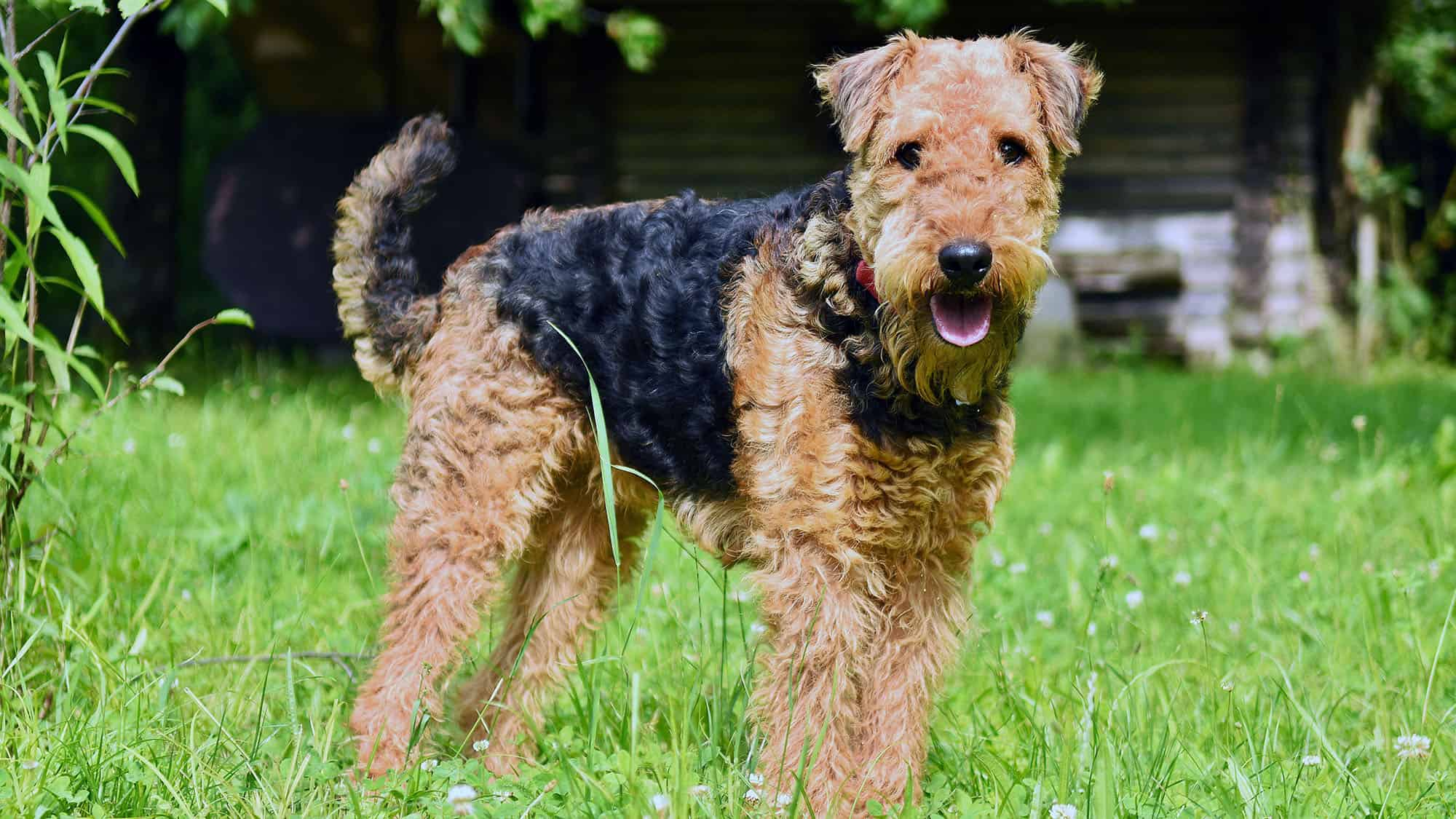 CyberPet - Airedale Terrier