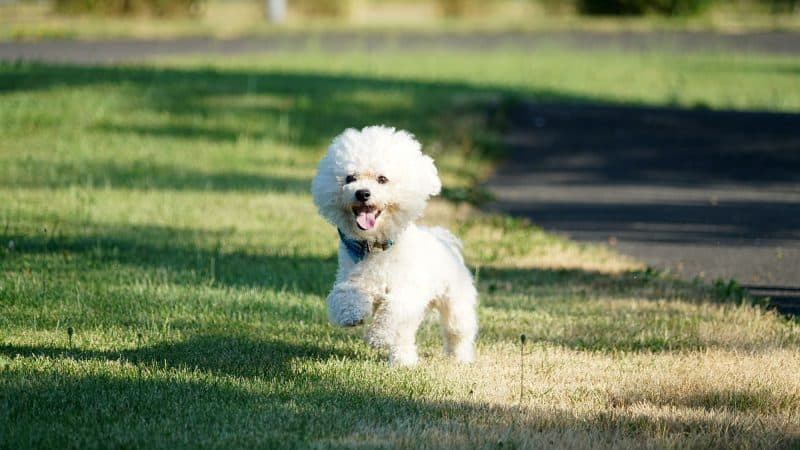 Bichon Frise: Color, Lifespan, Characteristics & Facts
