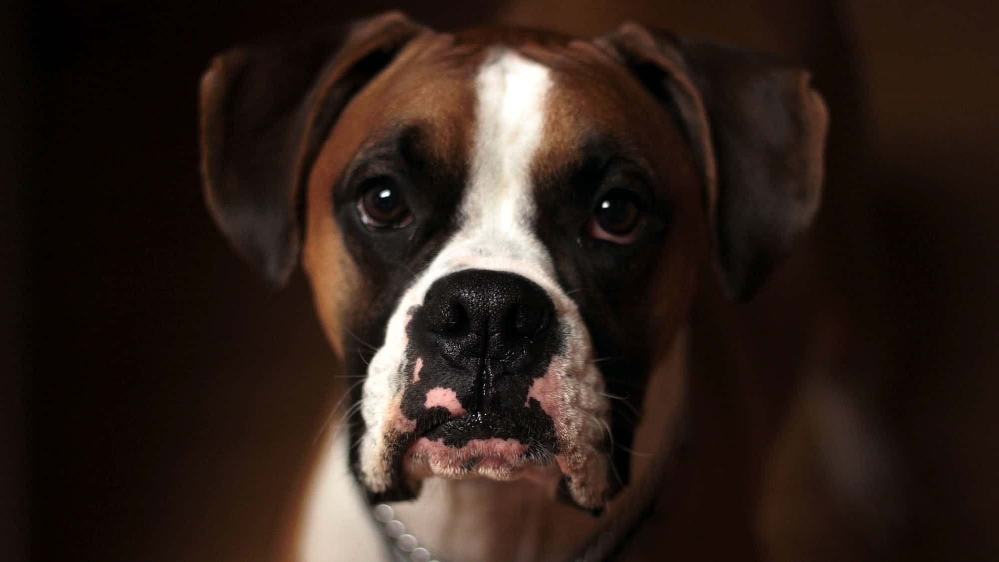 CyberPet - Boxer Dog
