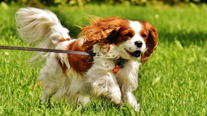 Cavalier King Charles Spaniel: Color, Lifespan, Characteristics & Facts
