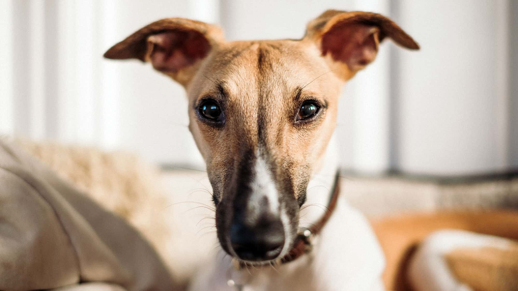 CyberPet - Italian Greyhound