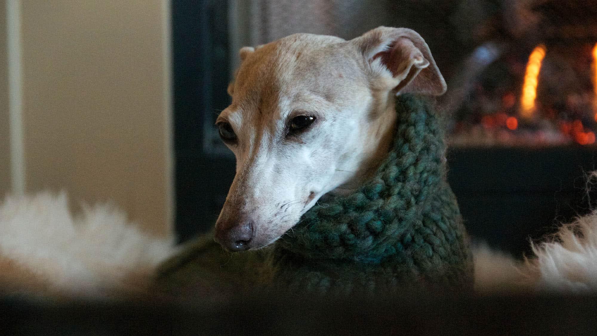 Italian Greyhound - 1