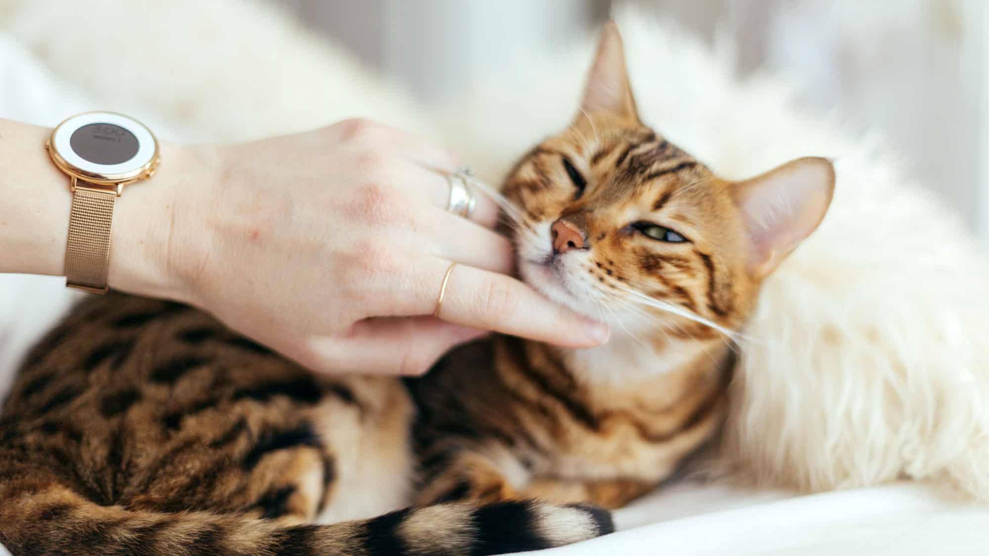 American bobtail cat - 3