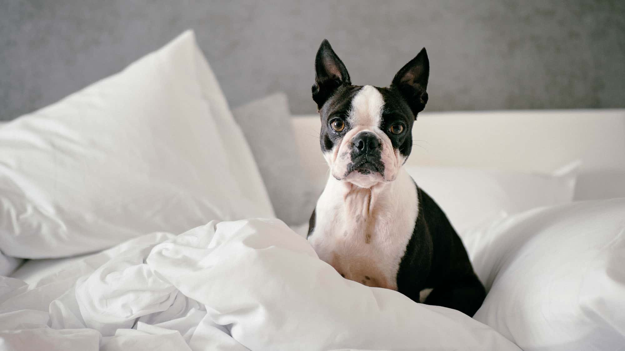Boston terrier - 3