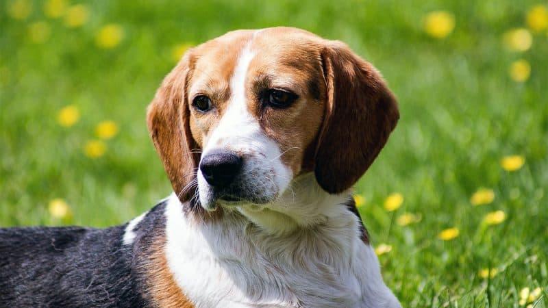 CyberPet - Beagle