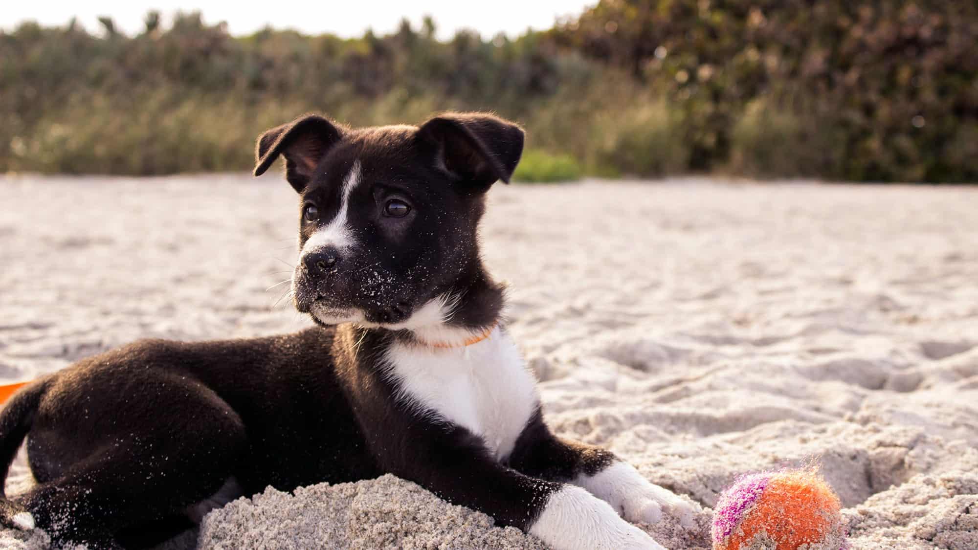 CyberPet - Boston terrier