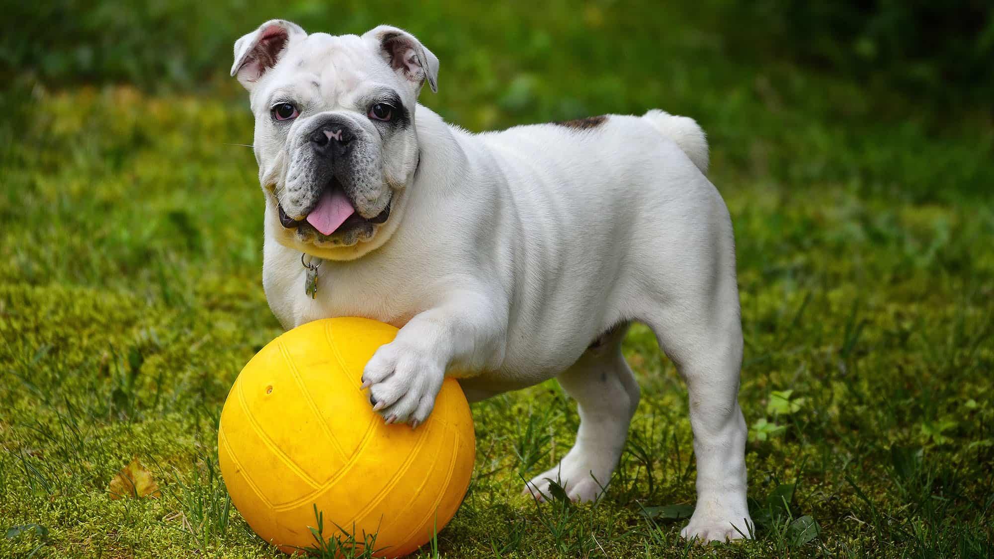 CyberPet - Bulldog