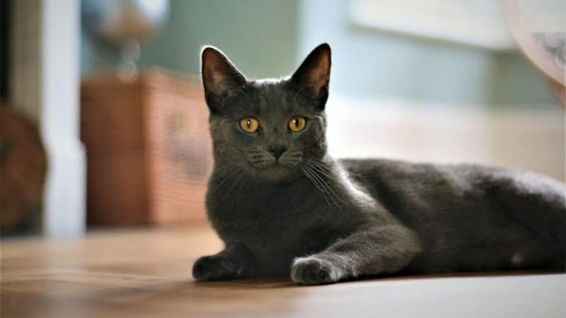 Korat Cat: Color, Lifespan, Characteristics & Facts