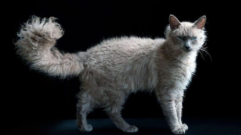 LaPerm Cat: Color, Lifespan, Characteristics & Facts