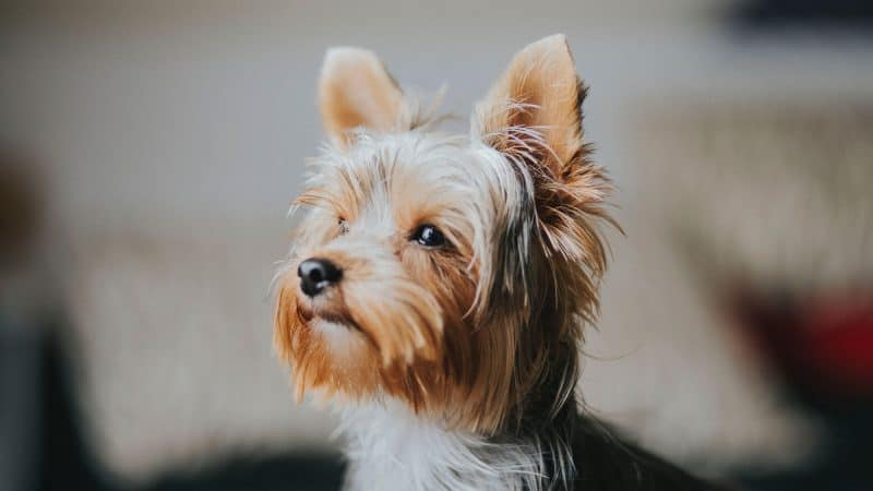 CyberPet - Yorkshire terrier