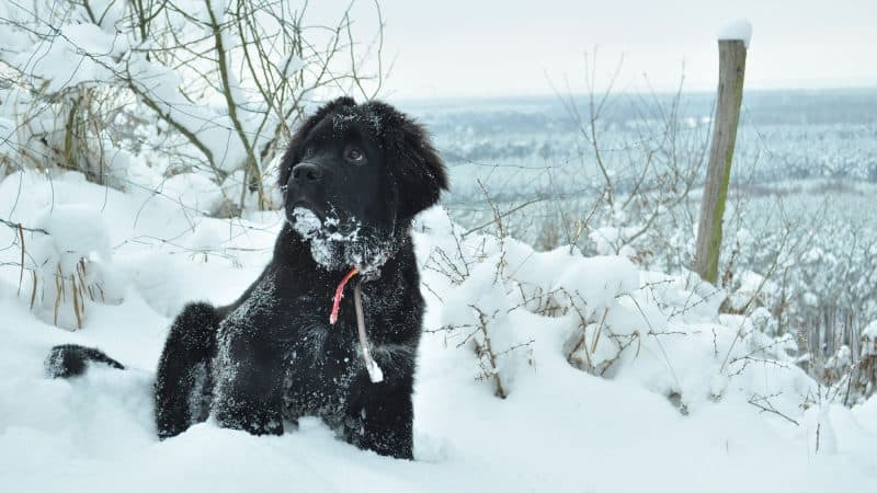 Newfoundland Dog: Color, Lifespan, Characteristics & Facts