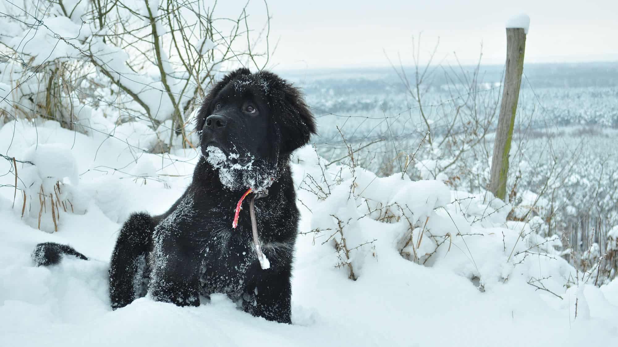 Cyberpet - Newfoundland dog