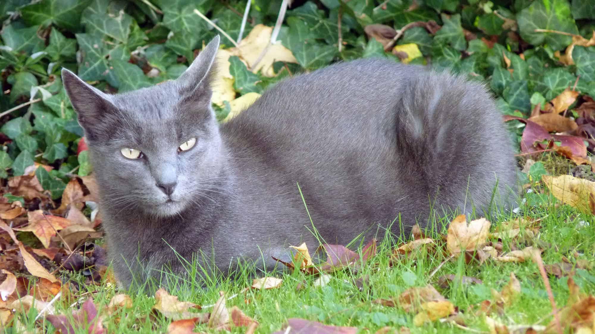 Korat cat - 1