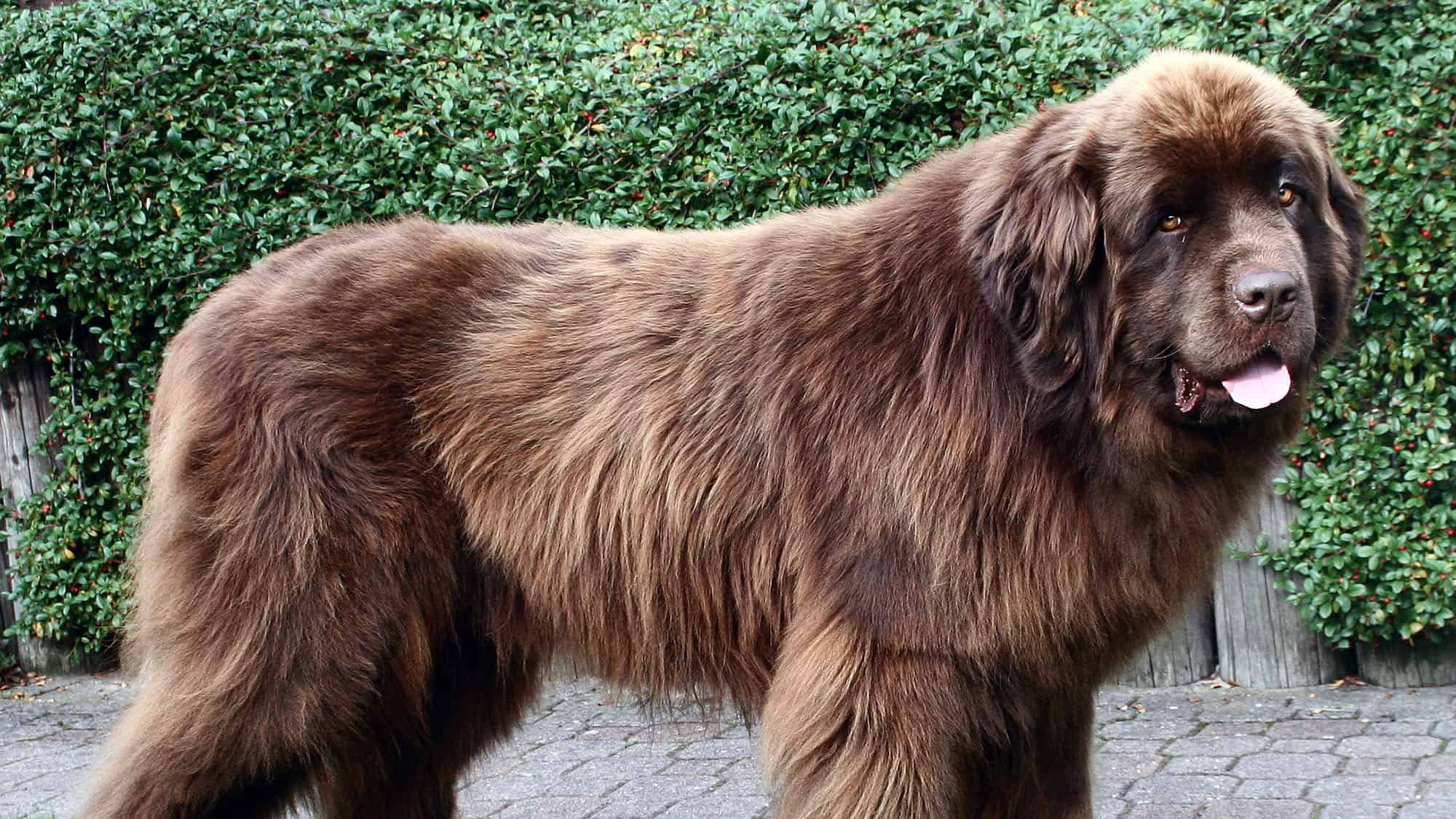 Newfoundland Dog Breed Information And Pictures