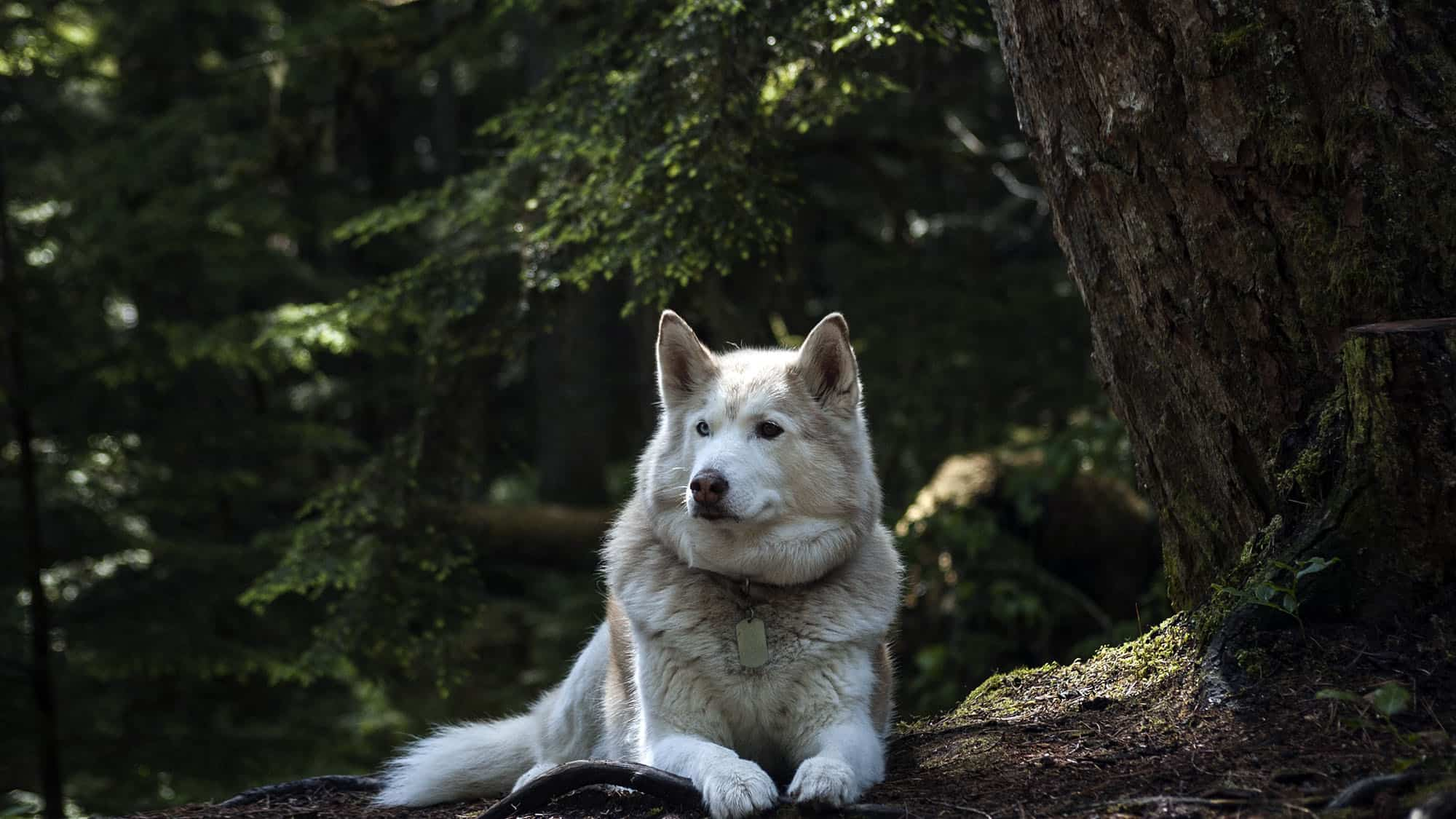 Siberian husky - 1