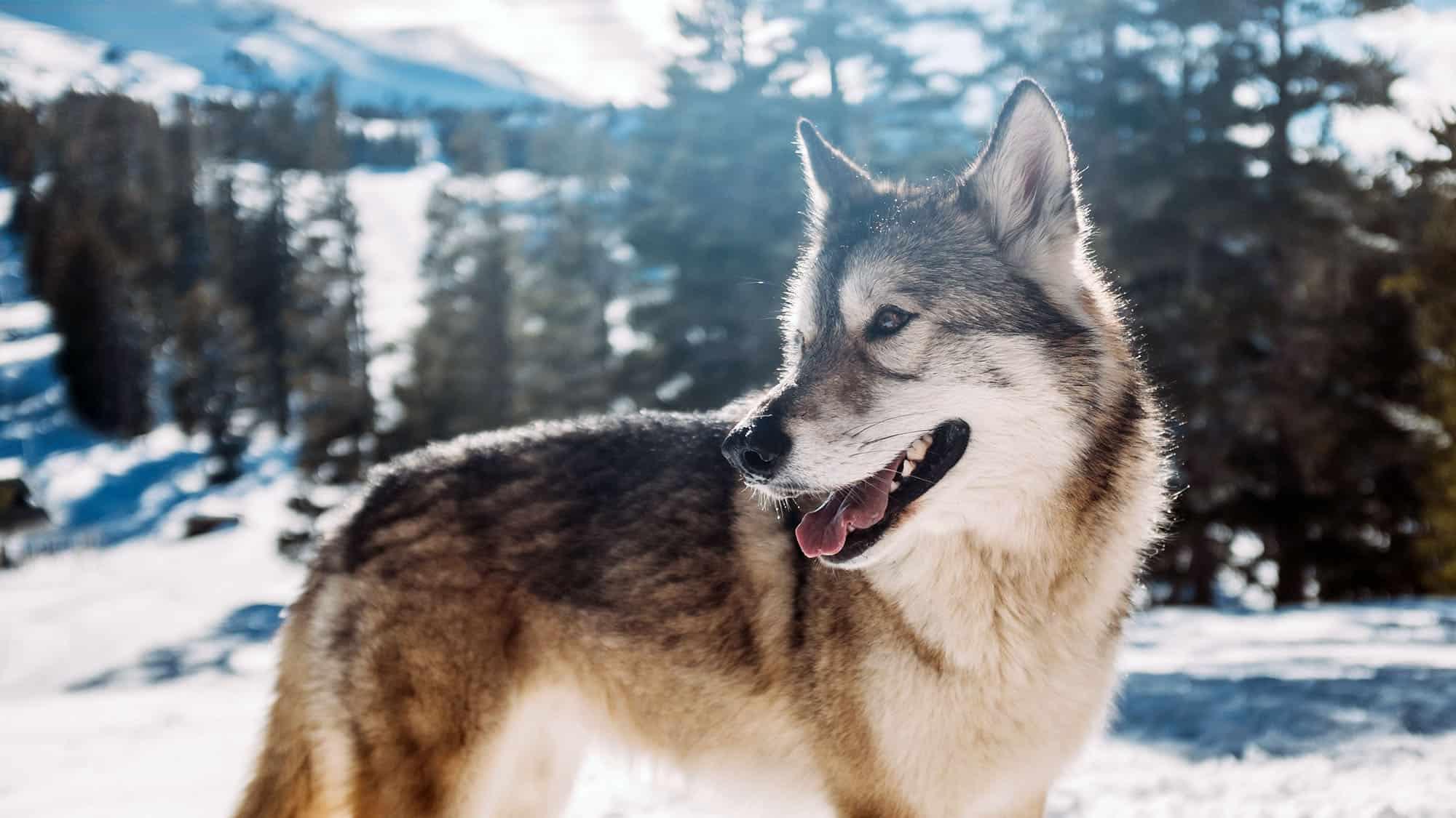 Siberian husky - 3