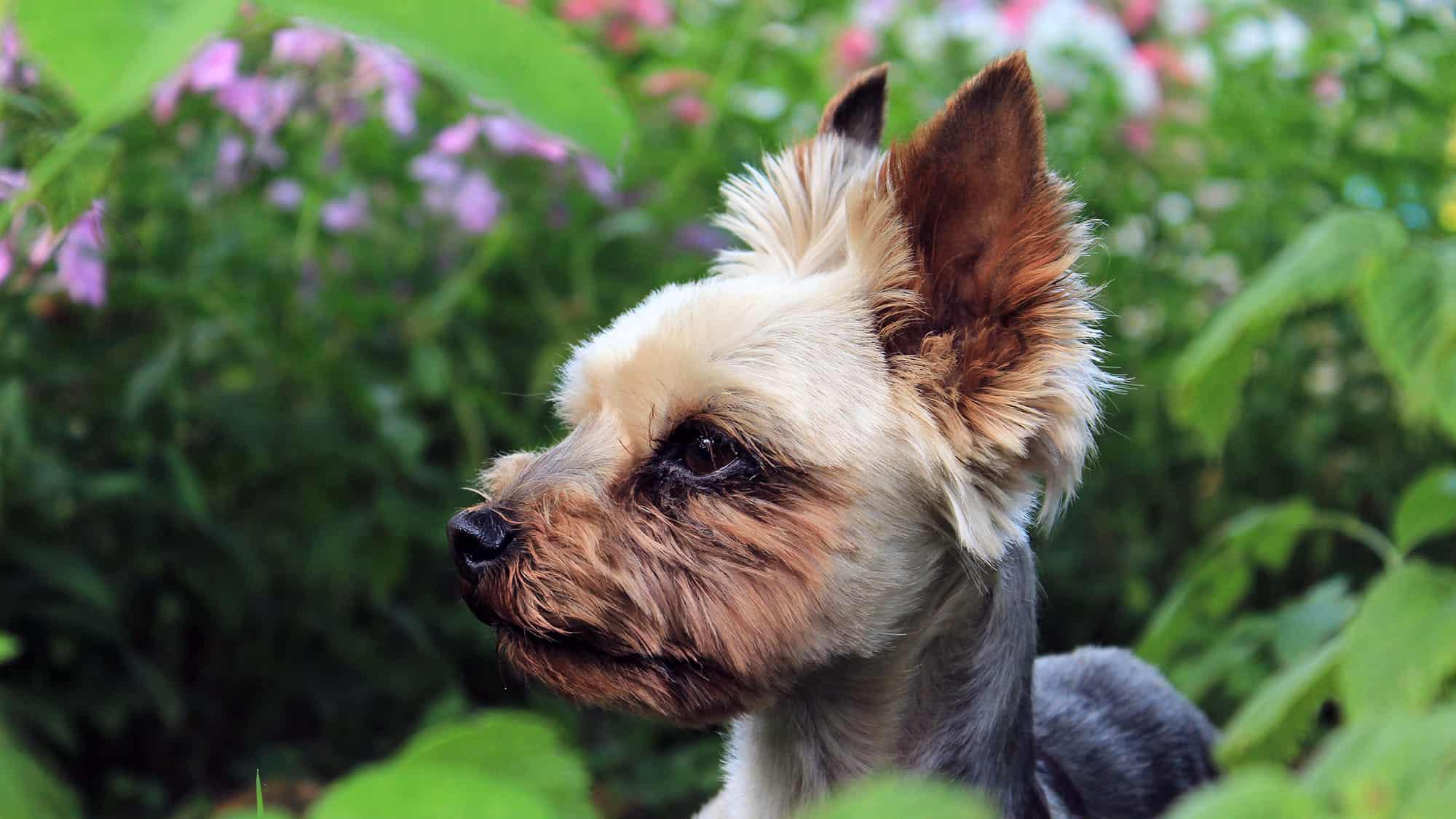 Yorkshire terrier - 1