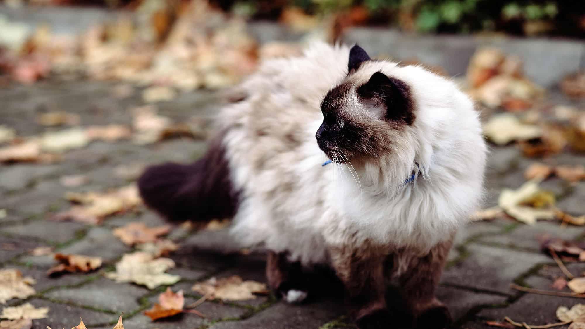 Birman cat - 1